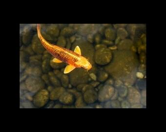 Gold Koi In Pond