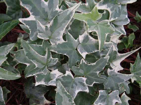 15 glacier english ivy cuttings 1 long green white evergreen variegated trailing vines real live house plants landscaping ground cover from