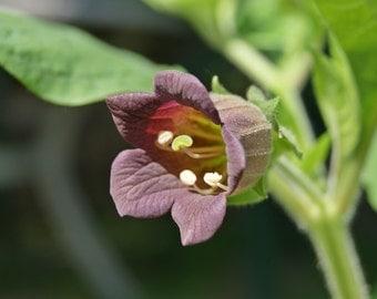 30 seeds of Belladonna, Atropa belladonna
