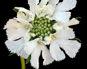 SCABIOSA FLOWER, Art Print, Flower Print, Photography Print, Artist Signed Print