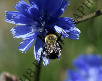 Bumble - Photography Print, Nature Photography, Bumble Bee Print, Colour Photography.