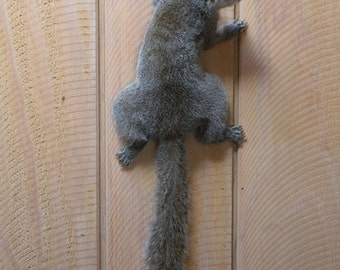 Grey squirrel taxidermy