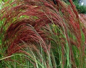 50+ Ruby Silk Eragrostis Love Grass / Thrives in Poor Soil / Ornamential / Perennial Flower Seeds