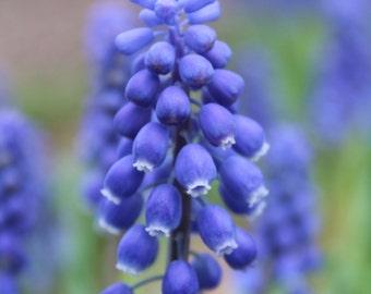 Springtime Hyacinth Blues