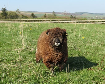 Raw Coloured Ryeland Wool Fleece