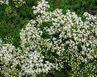 Sedum Album 50 Seeds, White Stonecrop,-Deep green foliage contrasting with white flowers