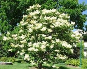 Japanese Lilac Tree- 10 Viable Seeds