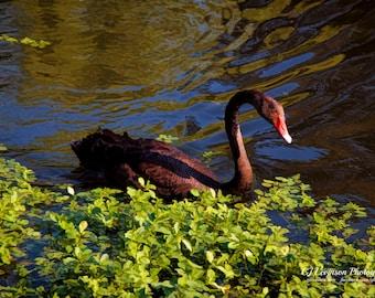 The Black Swan - original photograph, digital download, painterly photo