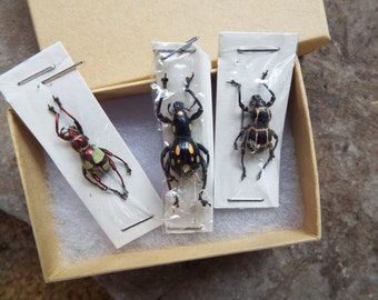 Jewel Weevil Package 6  Real Insects Unmounted