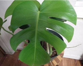 Live Monstera Split Leaf Philodendron Plant Tropical Garden Houseplant bohemian jungalow Elephant Ear Window