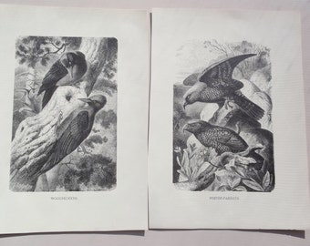 Gustav Metzel prints of Nestor-Parrots and Woodpeckers pair monochrome black and white antique prints engraved  X.J. v. K. Jahrmargt 1898