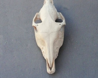 Mule Skull Real Skull, Natural Found Taxidermy Curiosities Collection Teeth Animal Anatomy