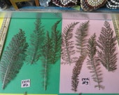 Choose your Real Pressed Wild Plants Grown in Alaska 581 FL