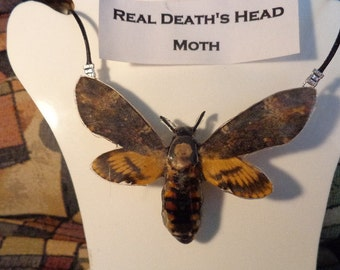 REAL Death's Head Sphinx Moth THICK & SOLID