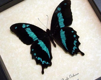 Real Framed Papilio Oribazus Blue Swallowtail Butterfly 129