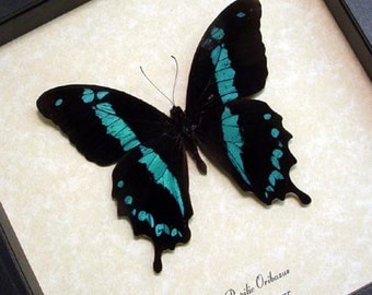 Papilio Oribazus Blue Swallowtail Real Framed Butterfly 129