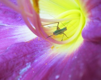 Katydid Nymph in Lily Upton Massachusetts 5x7 Fine Art Photography - Matted