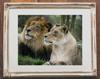 Lion photo wall art - Animal photography for animal lovers - Photo of lions for home decor - Lion couple wall prints for dining room decor