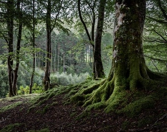 Mossy Magic Fine Art Photography Scotland Landscape Mystical Woodland Outlander inspired Soft green Romantic Home Decor shadowy Glen Trees