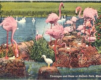 Vintage Florida Postcard - Flamingos and Nests at Hialeah Park (Unused)