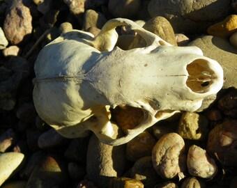 Vintage Badger Skull (Cruelty Free)