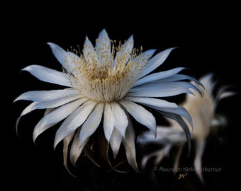 White flower, night blooming cereus flower/ Queen of the Night/ fine art photography/ Southwestern decor/ Tucson Arizona/ desert flower