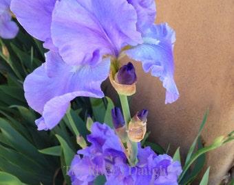 Lavender Blue Iris, Flower Photography, 5x7 Matted Photograph, Altered Art, Flower Decor, Digital Art