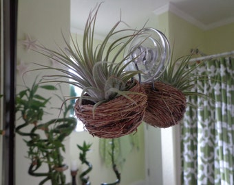 Air plant hanging out in it's own little bird's nest. Great coworker gift.
