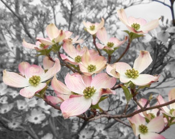 Lemonade Pink Dogwood Blossoms on Black & White Background Nature Photography Wall Art Home Deco Flamingo Pink Flower