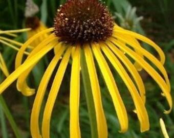 Echinacea paradoxa var. paradoxa---Live Plant