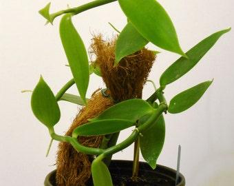 Vanilla Lutescens Live Plant
