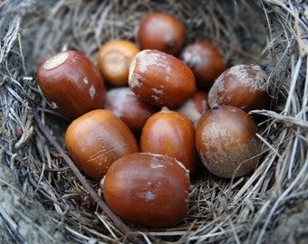Acorns from red oaks - woodland supplies - medium size