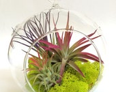 "Air Plant Fun Pack Hanging Terrarium Clear Glass Kit with Moss 6"" fully assembled kit"