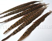 RINGNECK pheasant tail feathers long natural speckled brown loose feathers for millinery crafts / 12-15 in (30.5-38 cm) long, 6 pcs /F151-12