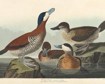 John James Audubon Reproductions - Ruddy Duck, 1836. Fine Art Print.