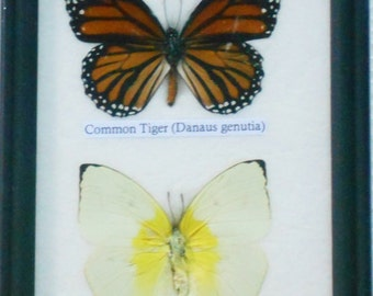 REAL 2 BEAUTIFUL Specimen BUTTERFLY Collection in Frame / Bf02aa