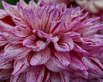 Dahlia Petals (FREE SHIPPING in the U.S only)