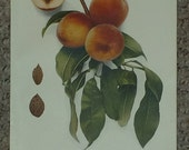 Vintage early 20th century Lithograph CARMAN PEACHES book illustration