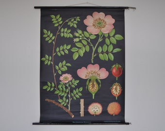 Original Pull Down School Chart. Rose (Rosa dumetorum). Mid Century Botanical Print.  Jung Koch Quentell. Germany. 1096