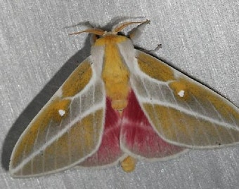 One Spingicampa Raspa Moth Papered Unmounted Wings Closed