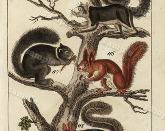 1817 Antique Original Hand colored Engraving  Of Animals -  Natural history- squirrels Tobias Wilhelm Over 200+ Years old