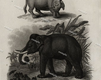 Quadrupeds Authentic  Natural History Engraving 1801 - Animals - Elephant-  Sukotyro -Large print-black and white