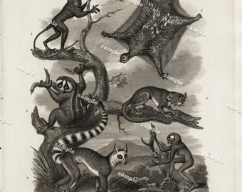 Quadrupeds Authentic  Natural History Engraving 1801 - Animals - Flying Squirrels -Monkeys -Large print-black and white-