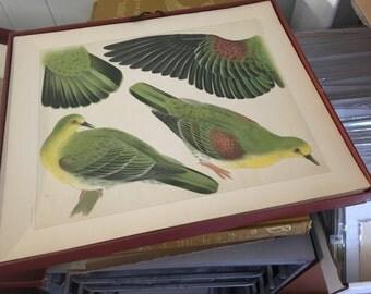 Original Antique Color Lithograph of birds Doves From Japanese 100 kinds of Birds wall art- art decor-home decor decorative art