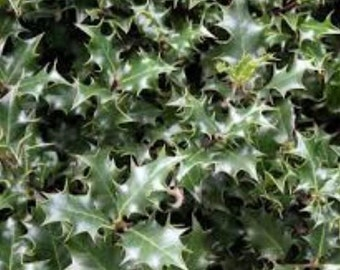 Dragon Lady Holly Tree ( ilex aquipernyi ) - Live Plant - Trade Gallon Pot