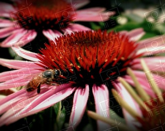 Bee-Daisaled - 16x20 Print (ready to be framed)