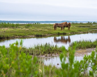 Assateague-Chincoteague Ponies on the Eastern Shore of Virginia