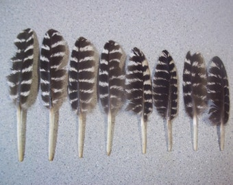 8 Wild Turkey Feathers, Rio Grande Turkeys, Texas Wildlife, Supplies, All natural, Free roam, No dyes, Western decor, Boutonnieres, Crafts
