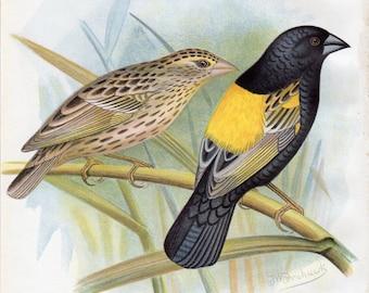 1899 Antique Bird Print Yellow Weaver Lithograph Nature Frohawk Vintage Bird Decor Vintage Bird Print
