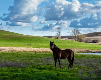 Palouse Washington Horse Photograph, 8x10 Wall Decor, Animal Photo, Canvas, Metal, Landscape Photography, Fine Art, Pacific Northwest